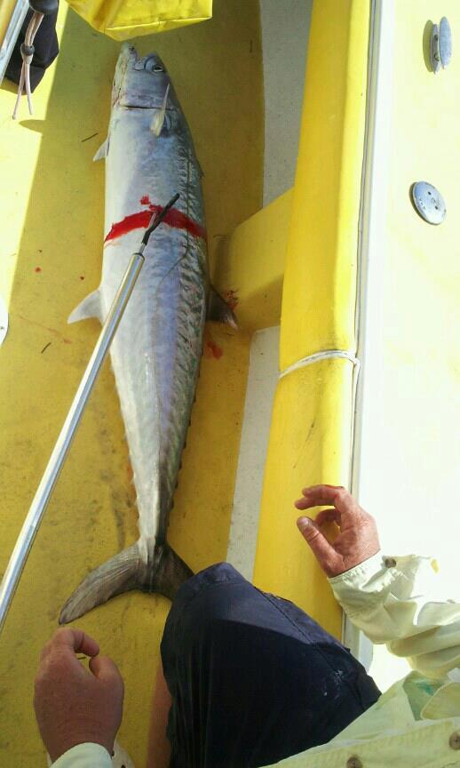king fish (3)
